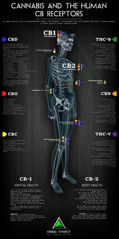 Cannabis and the Human CB Receptors - INFOGRAPHIC | Education - Herbal Synergy LLC #CBD #Cannabinoids http://cbdplus.me/CannabinoidTypes