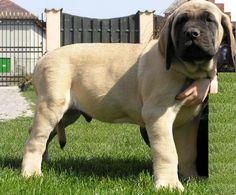 English Mastiff Puppy- so stinkin' cute