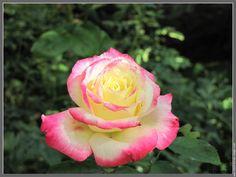 Fleur rose rose  rose rose 20091114