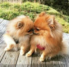 Marvelous Pomeranian Does Your Dog Measure Up and Does It Matter Characteristics. All About Pomeranian Does Your Dog Measure Up and Does It Matter Characteristics. The Animals, Cute Baby Animals, Cute Funny Animals, Cute Puppies, Cute Dogs, Dogs And Puppies, Doggies, Chihuahua, Cute Pomeranian