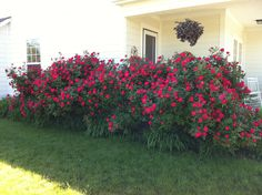 Knockout roses can get large if not trimmed back in the spring.  Plan on each shrub getting to 5' regardless of what the tag says...
