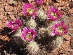 Sedona_Verde Valley_Cactus Flowers