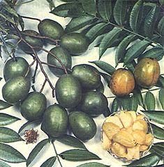 Ambarella spondias dulcis forst syn s cytherea sonn for Ambarella cambodian cuisine