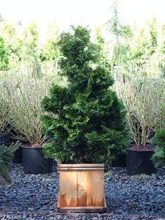 Fresh Emerald Green Arborvitae Potted