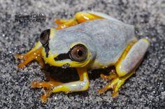 Madagascar reed frog (Heterixalus madagascariensis) #frog #amphibian #nature