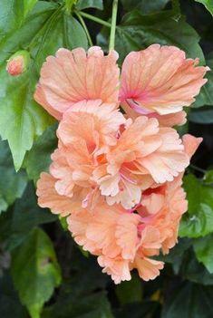 Um capricho da Natureza, uma tripla flor de Hibisco.