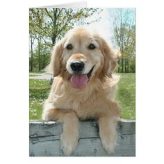 Astonishing Everything You Ever Wanted to Know about Golden Retrievers Ideas. Glorious Everything You Ever Wanted to Know about Golden Retrievers Ideas. Golden Retriever Training, Golden Retriever Mix, Golden Retrievers, Pet Dogs, Dogs And Puppies, Doggies, Puppies Tips, Labrador Retriever, Dog Rates