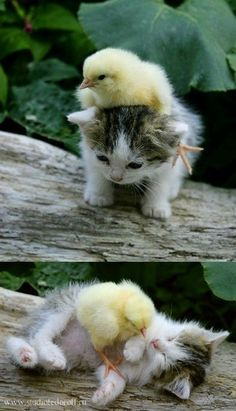 Here a chick, there a chick, everywhere on me chick