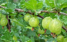1. Gooseberries.
