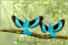 a pair of kingfishers