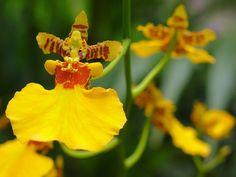 Dancing Lady Orchid Oncidium Sphacelatum Flower Essence Flower Essences Orchids Oncidium