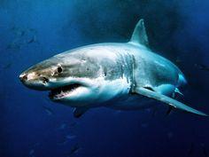 Most Dangerous Sharks