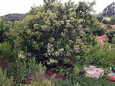 Heteromeles arbutifolia-Toyon, Christmas berry(The plant that Hollywood was named after) gets 15-25' x 10-20'; upright growth