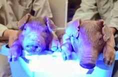 Scientists Make Piglets Glow Under a Black Light
