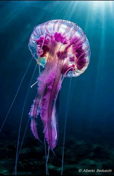 Purple giant jelly fish