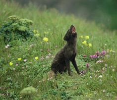 Vocalizing Arctic Fox by Joel Sartore