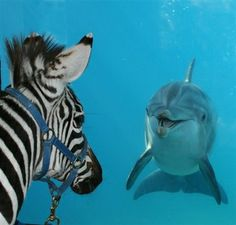 Zebra greeting his friend, Brandy:  This is an actual picture taken by the staff at 6 Flags! The Zebra's name is Beauregard and the bottlenose dolphin's name is Brandy