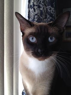 Siamese Cat Gallery - Cat's Nine Lives Siamese Kittens, Kittens Cutest, Cats And Kittens, Tabby Cats, I Love Cats, Crazy Cats, Cute Cats, Pretty Cats, Beautiful Cats