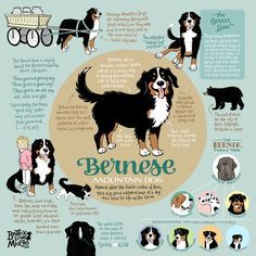 Bernese Mountain Dog Infographic Wall Art
