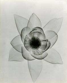 "Lotus - Dr. Dain L. Tasker's x-ray images of flowers, 1930s - presented in a new exhibition titled ""Floral Studies,"" at the Joseph Bellows Gallery in La Jolla, California."