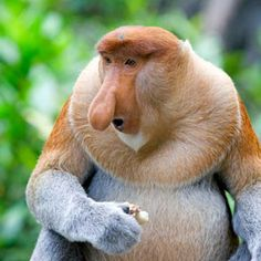 Proboscis Monkey. I'll need to research this later, looks like a cartoon character to me.