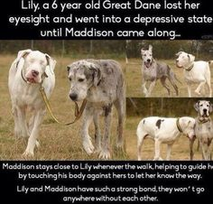 This just makes me feel good. I shared it on Facebook about a month ago and I'm so glad I found it again. I love Great Danes, and this is a reason why <3
