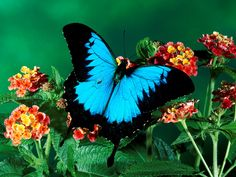Ulysses Butterfly, Queensland, Australia