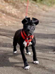 3 / 17 Petango.com – Meet Delta, a 4 months 12 days Terrier, Pit Bull / Mix available for adoption in WINSTON SALEM, NC Contact Information Address 61 Miller Street, WINSTON SALEM, NC, 27104 Phone (336) 721-1303 Website http://www.forsythhumane.org Email info@forsythhumane.org