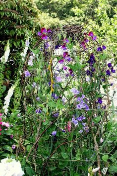 Sweet pea trellis made from twigs
