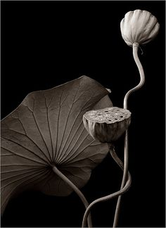 Lotus in Black & White