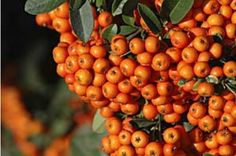 Buy Orange Glow Pyracantha hedging online from Ashridge Nurseries. All hedge plants are delivered in the UK by mail order and guaranteed for one year. Glow Pots, Hedges, Shrubs, Favorite Color, Pumpkin, Orange, Garden, Flowers, Plants