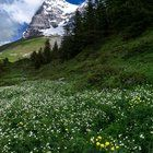 Submitted by /u/AndrewHelmer on Reddit. Wildflower Season in the Swiss Alps #2 [OC] [2000x3000]
