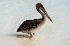 Galapagos Pelican - Beautiful brown pelican at Espanola beach, Galapagos Islands, Ecuador.