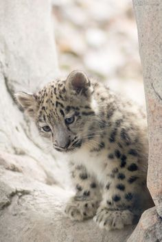 Baby snow leopard (Cloudtail the Snow Leopard, photographer) Baby Snow Leopard, Leopard Cub, Clouded Leopard, Big Cats, Cats And Kittens, Cute Cats, Beautiful Cats, Animals Beautiful, Beautiful Images