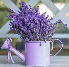 ¸¸Ꭿℓℓ Ꮭąⱴҽɳɖҽɽ.✿⊱╮Assaf Frank Caption - Watering can with Lavender flowers Lavender Cottage, Lavender Garden, French Lavender, Lavender Fields, Lavender Color, Lavender Flowers, Love Flowers, Purple Flowers, Beautiful Flowers