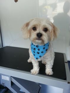 Ozzy! #Grooming #pets #NorthVancouver #Dogs http://www.aussiepetmobile.ca/northshore/