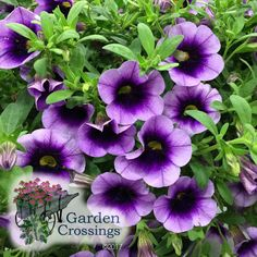 NEW for 2018! SUPERBELLS® BLUE MOON PUNCH™ Calibrachoa Last summer Blue Moon Punch was a stand out in our trials. The bright purple blooms feature a deep purple center that fades to a lighter purple edge. Pair with SUPERBELLS® OVER EASY™ for a beautiful contrast. https://loom.ly/Zey4JZ4