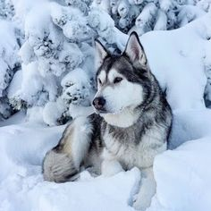 Wonderful All About The Siberian Husky Ideas. Prodigious All About The Siberian Husky Ideas. Alaskan Husky, Siberian Husky Dog, Alaskan Malamute, Husky Puppy, Puppy Goldendoodle, Dalmatian Puppies, Cavapoo Puppies, Akita, Wolf Husky