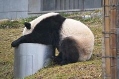 Panda Hang-over. Mr. Panda, after partying all night. (Kidding, he's just drinking.)