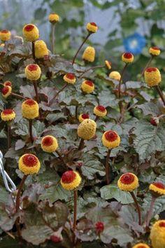 Foto 1 Spilanthes oleracea