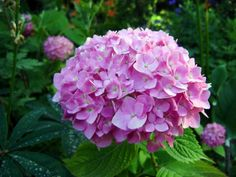 Hydrangeea - Hydrangea - Wikipedia, the free encyclopedia