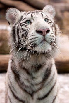 White Tiger... Amazing blue eyes & the sweetest expression...