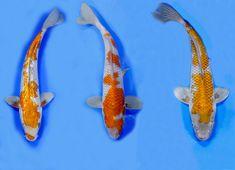 Ochoba | Selection | Blue Ridge Fish Hatchery