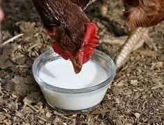 Raw Milk For Chickens?