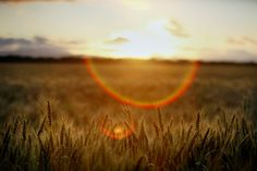 5 x 7 Fine Art Print Wheat Field at Sunset. sold by Wayne Tilcock Photography via Etsy.