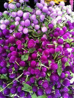 Shades of purple n lavender, Fall flowers - Globe amaranth Purple Love, All Things Purple, Shades Of Purple, Deep Purple, Fall Flowers, Purple Flowers, Beautiful Flowers, Dahlia, Peony