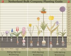 How deep should I plant my fall bulbs?