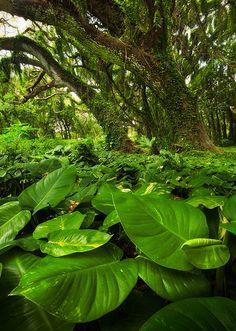 Overgrown ~ rainforest, Honolua Bay, Maui, Hawaii