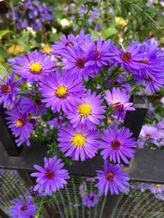 Purple in fall