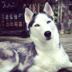 What is this Husky saying?